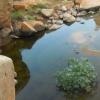 Ricinus communis | Castor oil plant