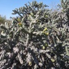 Cylindropuntia imbricata | Devil's rope cactus