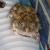 Amietophrynus maculatus | Toad, Flat-backed
