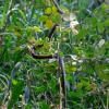 Dendroaspis polylepis | Black Mamba
