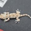 Ptenopus garrulus garrulus | Common Barking Gecko
