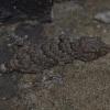 Chondrodactylus turneri | Turner's Giant Gecko