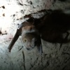 Rhinolophus clivosus | Bat, Geoffroy's horseshoe