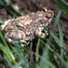 Poyntonophrynus dombensis | Pygmy Toad, Dombe