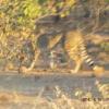 Acinonyx jubatus | Cheetah
