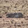 Lepus capensis | Hare, Cape