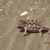 Chamaeleo namaquensis | Namaqua Chameleon