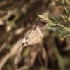 Pinacopteryx eriphia | White, Zebra