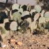 Opuntia engelmannii | Small round-leaved prickly pear