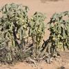 Cylindropuntia imbricata   Devil's rope cactus