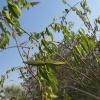 Cryptostegia grandiflora   Rubber vine