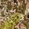 Chamaeleo dilepis | Common Flap-neck Chameleon