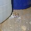 Breviceps adspersus | Rain Frog, Bushveld
