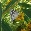 Stugeta subinfuscata | Sapphire, Dusky