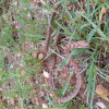 Dasypeltis scabra   Rhombic or Plain Egg-eater