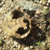 Pelomedusa subrufa | Central Marsh Terrapin