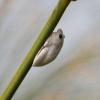 Hyperolius parallelus | Reed Frog, Angolan