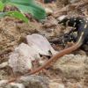 Heliobolus lugubris | Bushveld Lizard
