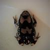 Phrynomantis annectens | Rubber Frog, Marbled