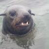 Arctocephalus pusillus | Seal, Cape fur