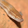 Boaedon capensis | Brown House Snake