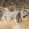 Equus burchelli | Zebra, Burchell's