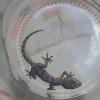 Pachydactylus otaviensis | Otavi Gecko
