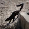Galerella nigrata | Mongoose, Black