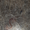 Aspidelaps scutatus scutatus | Speckled Shield Cobra