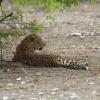 Panthera pardus   Leopard
