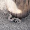 Bitis schneideri | Namaqua Dwarf Adder