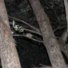 Galago moholi   Bush baby, Southern African