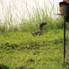 Varanus niloticus | Water Monitor