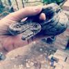 Python natalensis | Southern African Python