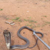 Naja anchietae | Anchieta's Cobra