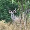 Tragelaphus strepsiceros | Kudu, Greater