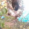 Sylvietta rufescens | Long-billed Crombec