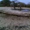 Tragelaphus strepsiceros   Kudu, Greater