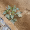 Datura inoxia | Downy thorn apple