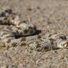 Dipsina multimaculata   Dwarf Beaked Snake