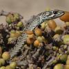 Psammophis notostictus   Karoo Sand Snake