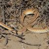 Psammophis namibensis   Namib Sand Snake