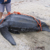 Dermochelys coriacea | Leatherback Turtle